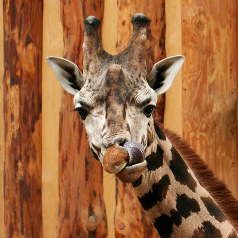 Giraffes in Riga Zoo 360 degree panoramas virtual tour